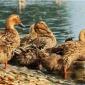 河池番鸭苗  孵化场直销  包打疫苗